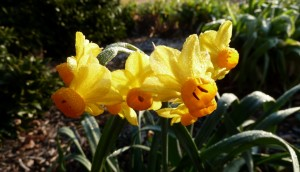 Cover photo for Fall Planted, Spring Flowering Bulbs