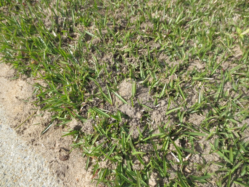 What Causes Tiny Mounds Of Soil In My Lawn North Carolina Cooperative Extension