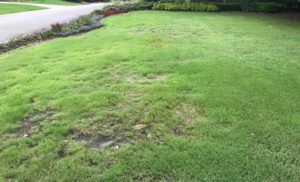 ground pearl damage bermudagrass