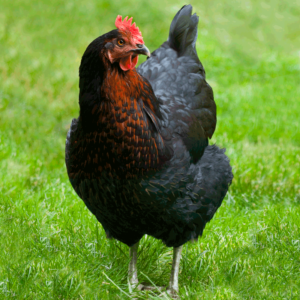 Cover photo for Coastal Plains Chicken Project